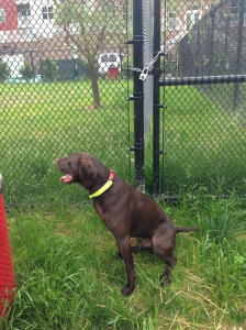 Duke Waiting For the Conshohocken Dog Park